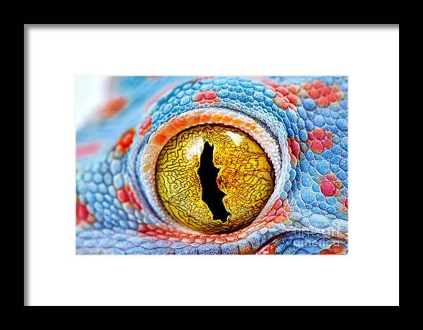 Color Framed Print featuring the photograph Colorful Tokes Gecko Amazing Eye Macro by Sebastian Janicki