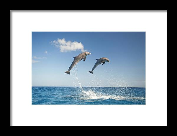 Aerodynamic Framed Print featuring the photograph Common Bottlenose Dolphins Tursiops by Mike Hill