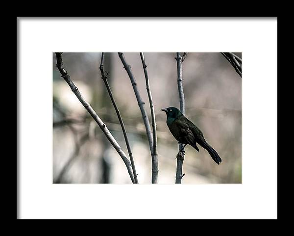 Animal Themes Framed Print featuring the photograph Common Grackle by By Ken Ilio