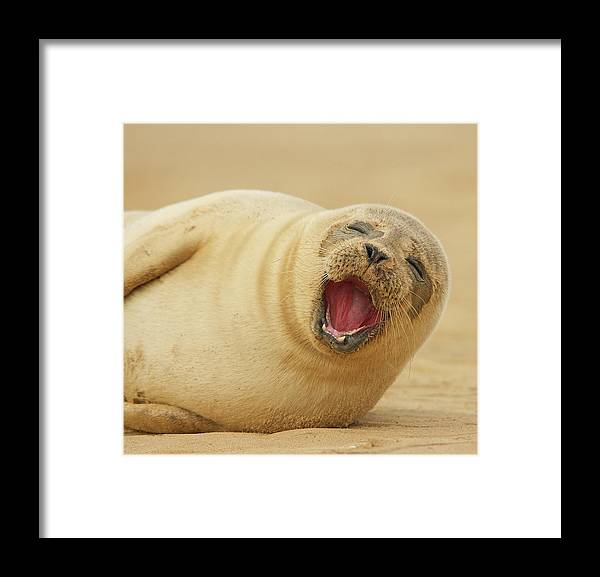 Animal Themes Framed Print featuring the photograph Common Seal by Copyright Alex Berryman