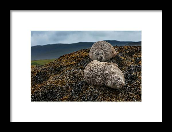Seaweed Framed Print featuring the photograph Common Seals, Loch Dunvegan, Isle Of by Diane Macdonald