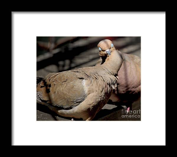Female Mourning Dove Framed Print featuring the photograph Cooing Mourning Doves 1 by Patricia Youngquist