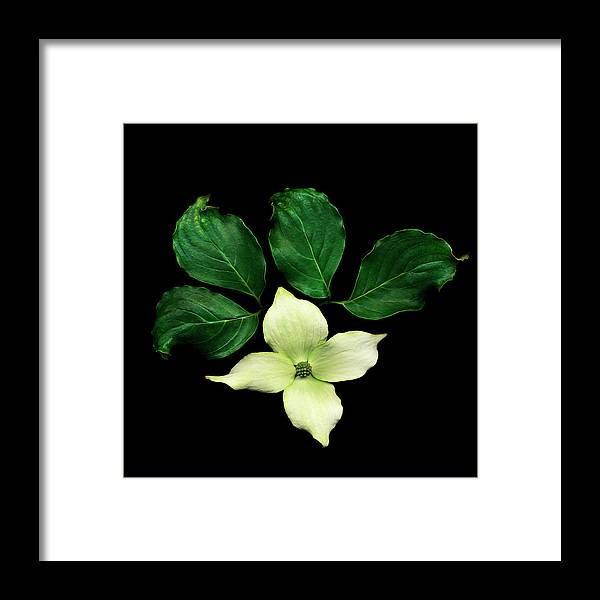 Dogwood Framed Print featuring the photograph Cornus Plant Against Black Background by Mike Hill