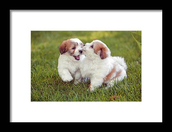 Breed Framed Print featuring the photograph Coton De Tuléar Puppies by Phil DEGGINGER