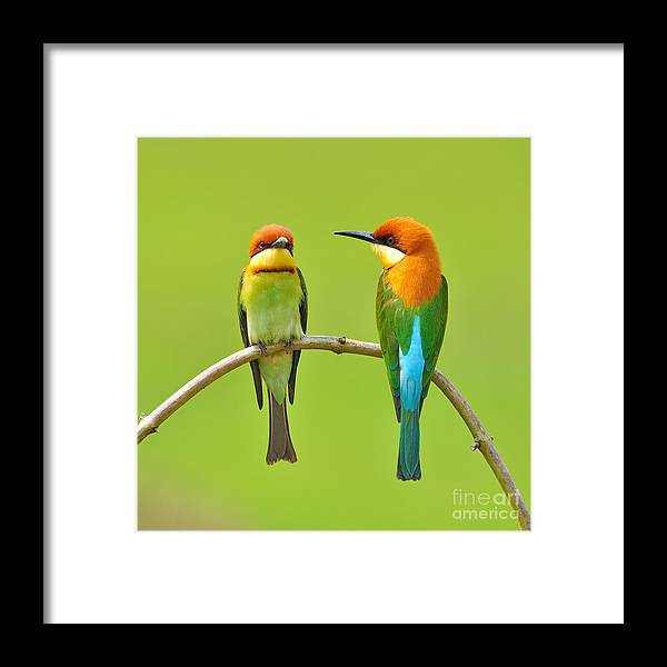 Quick Framed Print featuring the photograph Couple Of Bee Eater Bird by Butterfly Hunter