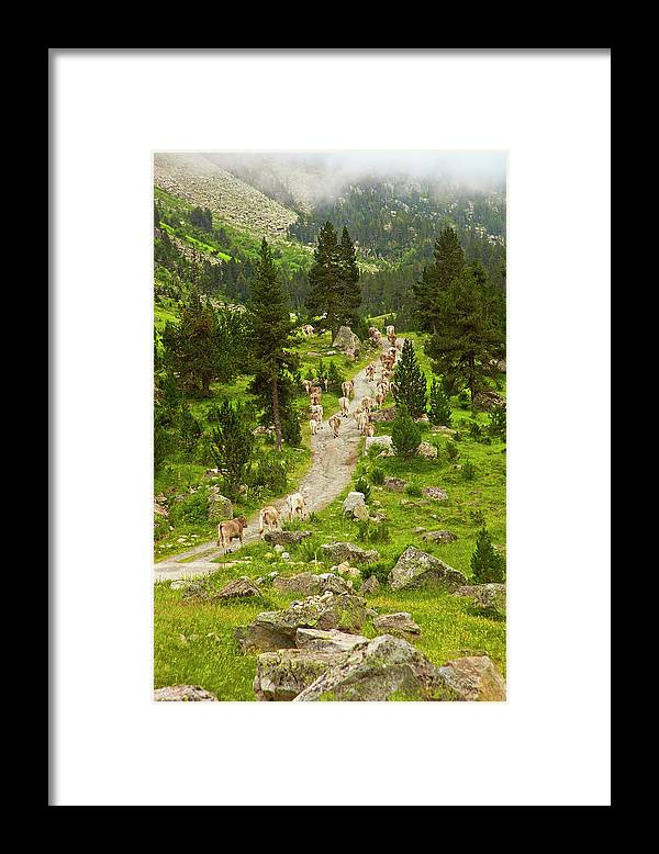 Catalonia Framed Print featuring the photograph Cows Walking In Catalan Pyrenees by Gonzalo Azumendi