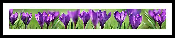 Photography Framed Print featuring the photograph Crocus Scape by Cora Niele