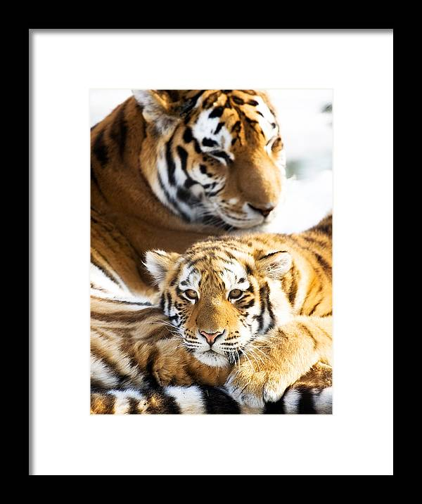 Snow Framed Print featuring the photograph Cub Resting On His Mother by Vtwinpixel