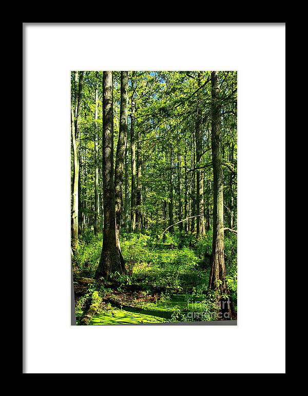 Cypress Grove Framed Print featuring the photograph Cypress Trees by Kathy McClure