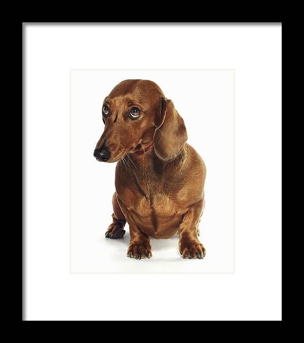 Pets Framed Print featuring the photograph Dachshund Looking Up by Gandee Vasan