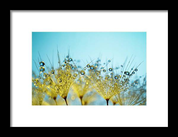 Yellow Framed Print featuring the photograph Dandelion And Dew - Gold Abstract Macro by Thomasvogel