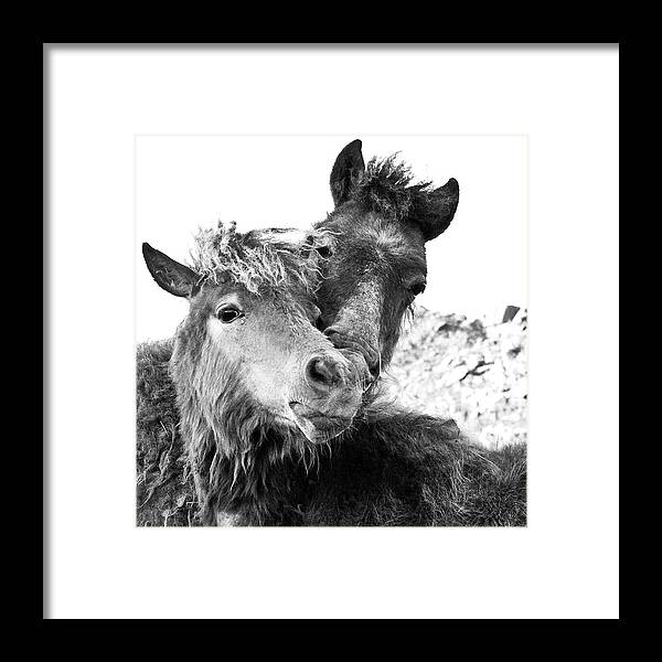 Working Animal Framed Print featuring the photograph Dartmoor Ponies by Adam Hirons Photography