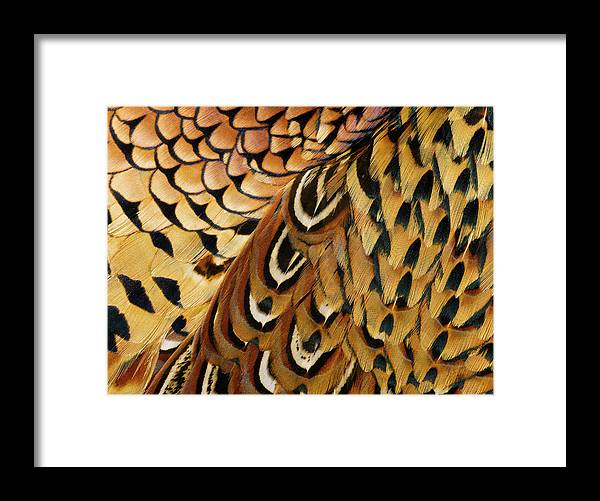 Orange Color Framed Print featuring the photograph Detail Of Pheasant Feathers by Jeffrey Coolidge