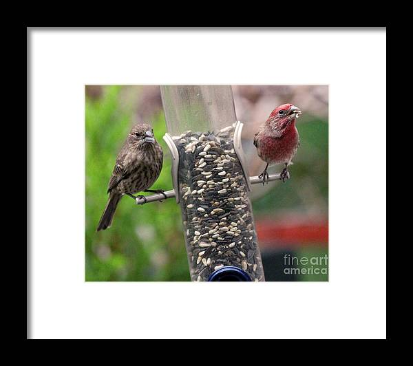Female House Finch Framed Print featuring the photograph Dinner for Two by Patricia Youngquist