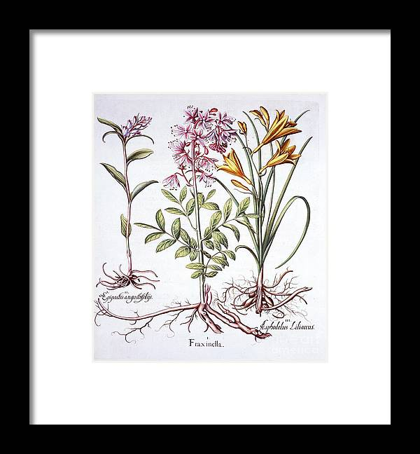 Burning Framed Print featuring the drawing Dittany by Heritage Images