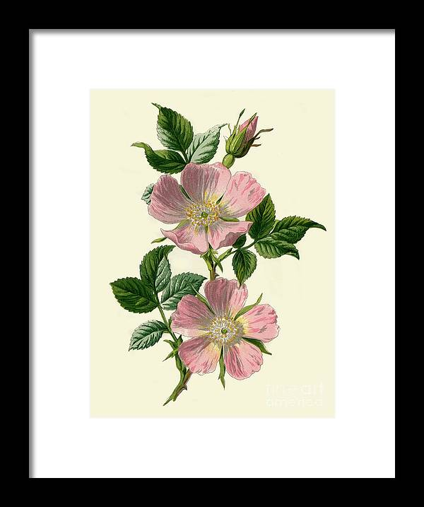 White Background Framed Print featuring the drawing Dog-rose by Print Collector