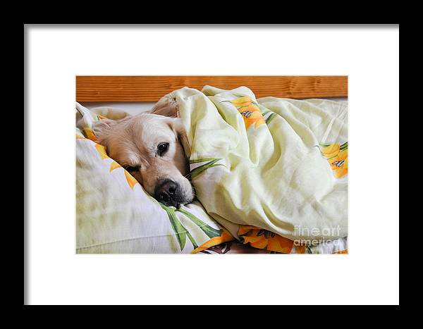 Bed Framed Print featuring the photograph Dog Sleeps Under The Blanket by Oleg Itkin