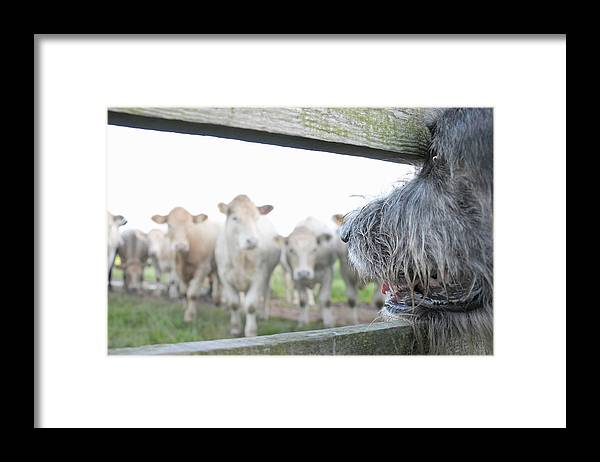 Alertness Framed Print featuring the photograph Dog Watching Cows Through Fence by Cecilia Cartner