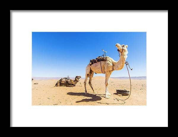 Working Animal Framed Print featuring the photograph Draa Valley, Camel At Tinfou by Maremagnum