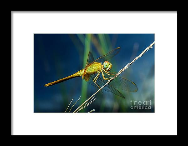 Forest Framed Print featuring the photograph Dragonflies, Insects, Animals, Nature by Boyphare