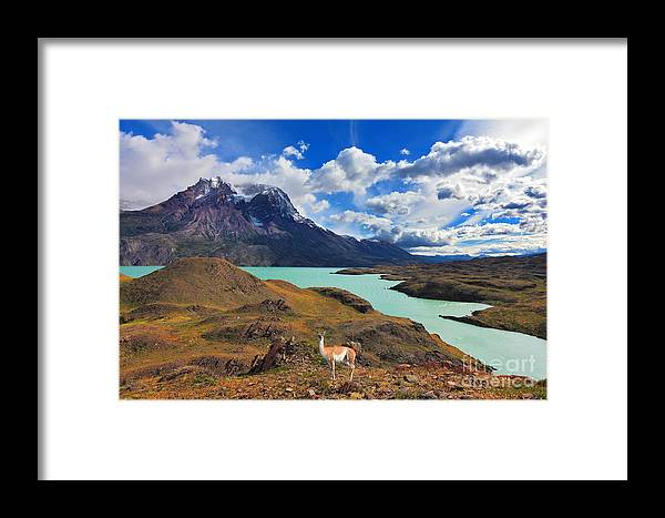 Guanaco Framed Print featuring the photograph Early Autumn In Patagonia. National by Kavram
