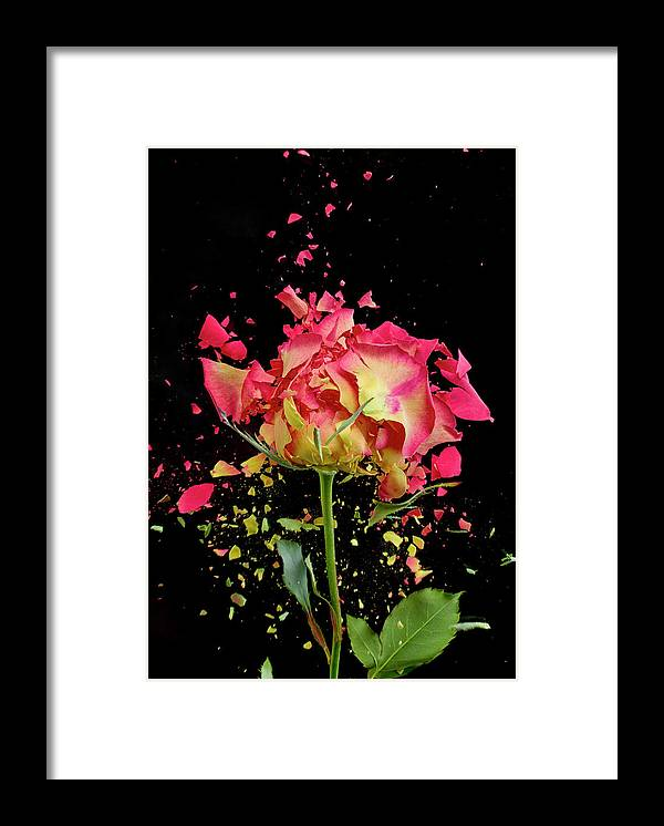 Black Background Framed Print featuring the photograph Exploding Rose by Don Farrall