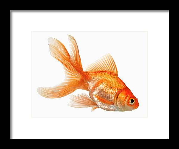 Orange Color Framed Print featuring the photograph Fancy Goldfish by Don Farrall