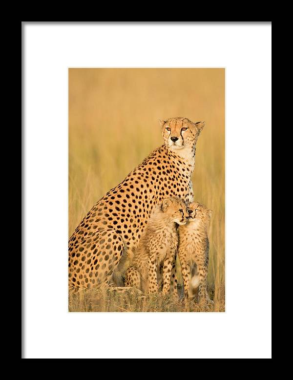 Kenya Framed Print featuring the photograph Female Cheetah Acynonix Jubatus With by Winfried Wisniewski