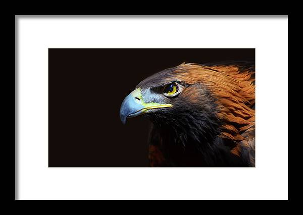 Animal Themes Framed Print featuring the photograph Female Golden Eagle by A L Christensen