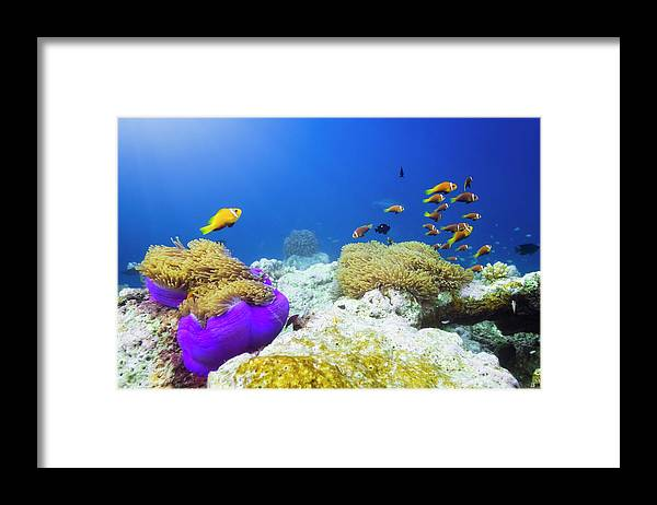 Underwater Framed Print featuring the photograph Finding Nemo by Cinoby