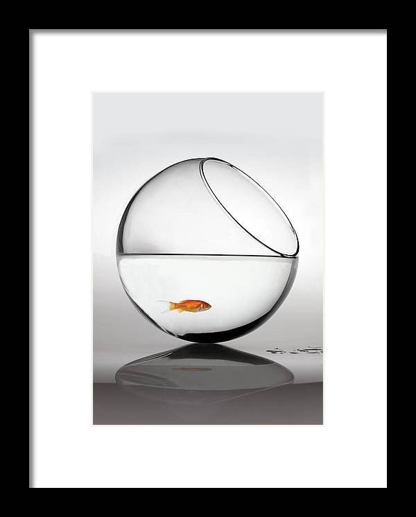White Background Framed Print featuring the photograph Fish In Fish Bowl Stressed In Danger by Paul Strowger