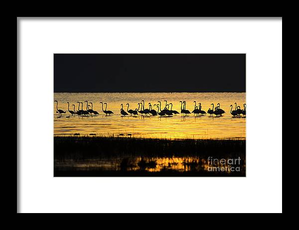 Water's Edge Framed Print featuring the photograph Flamingos At Dawn by Wldavies