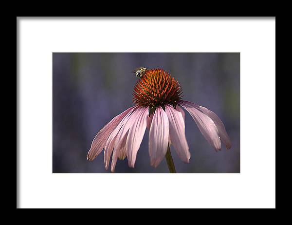 Insect Framed Print featuring the photograph Flower And Bee by Bob Van Den Berg Photography