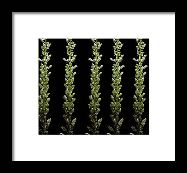 Bud Framed Print featuring the photograph Flower Buds On Black Background by Michael Duva