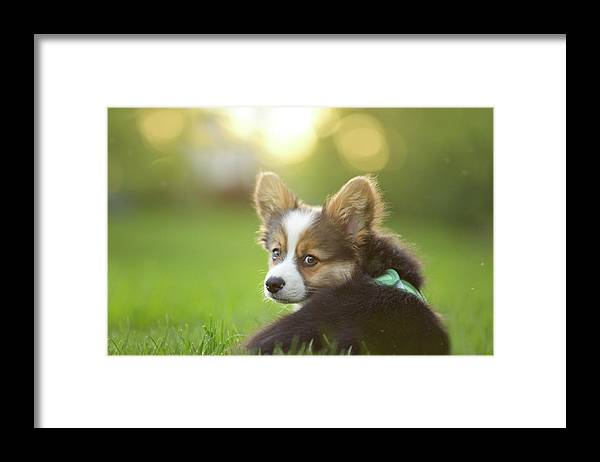 Pets Framed Print featuring the photograph Fluffy Corgi Puppy Looks Back by Holly Hildreth