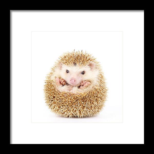 Studio Framed Print featuring the photograph Four-toed Hedgehog Atelerix by Kamonrat
