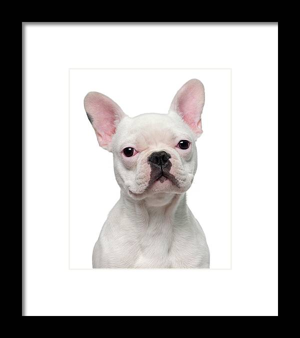 Pets Framed Print featuring the photograph French Bulldog Puppy 5 Months Old by Life On White