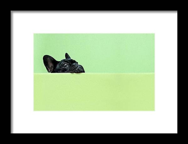 Pets Framed Print featuring the photograph French Bulldog Puppy by Retales Botijero