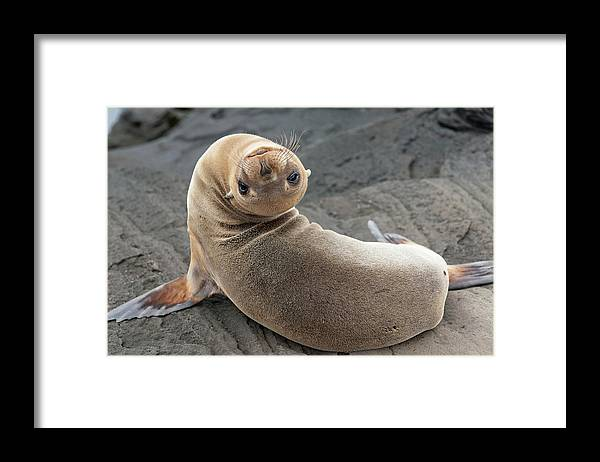 Looking Over Shoulder Framed Print featuring the photograph Fur Seal Otariidae Looking Back Upside by Keith Levit / Design Pics