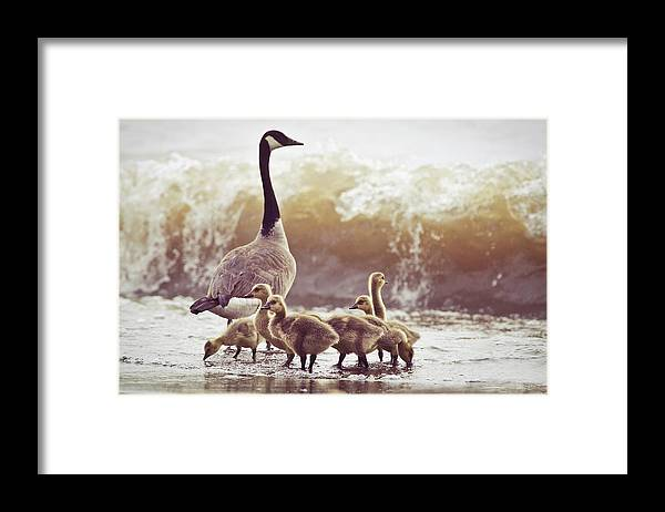 Lake Ontario Framed Print featuring the photograph Gaggle by Photogodfrey