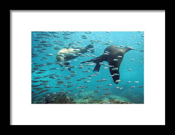 Underwater Framed Print featuring the photograph Galapagos Sea Lion by Bettina Lichtenberg