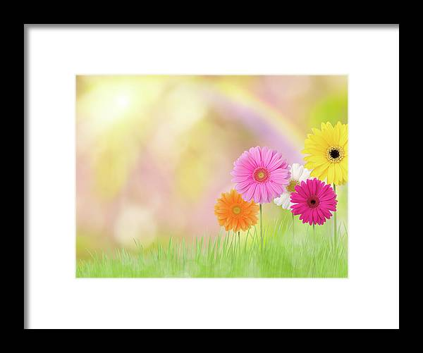 Grass Framed Print featuring the photograph Gerbera Daisies In A Field With Rainbow by Liliboas