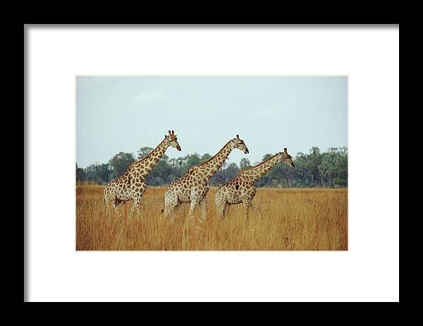 Horned Framed Print featuring the photograph Giraffe Herd, Botswana by Tim Graham