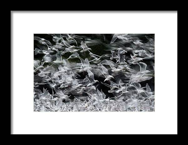 Blurred Motion Framed Print featuring the photograph Glaucous-winged Gulls by Eastcott Momatiuk