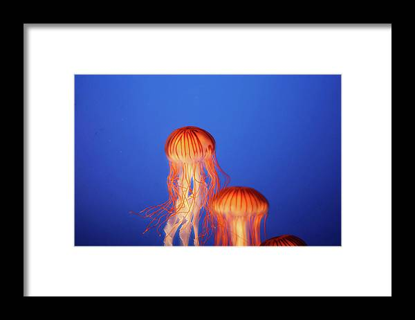 Underwater Framed Print featuring the photograph Glowing Jellyfish Under Water by Indy Randhawa