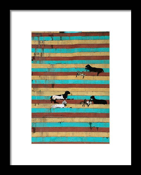 Steps Framed Print featuring the photograph Goats Resting On The Tulsi Ghats by Anders Blomqvist