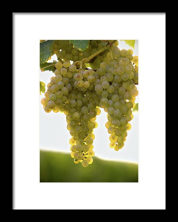 Sonoma County Framed Print featuring the photograph Golden Wine by Farbenrausch