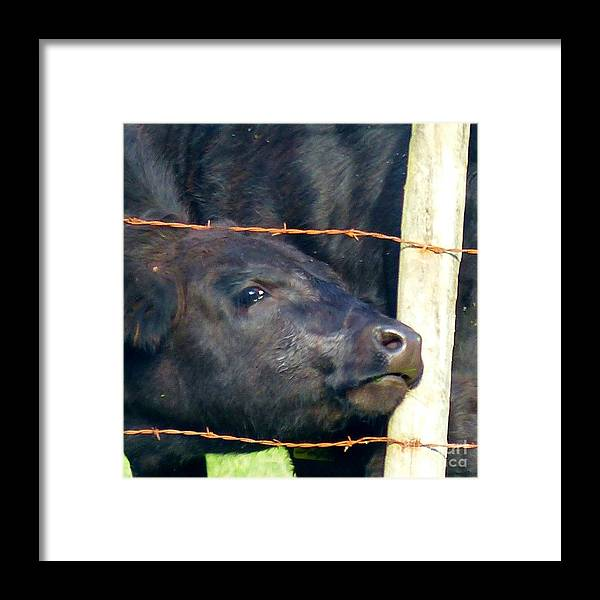 Cow Framed Print featuring the photograph Good Morning by Rosanne Licciardi