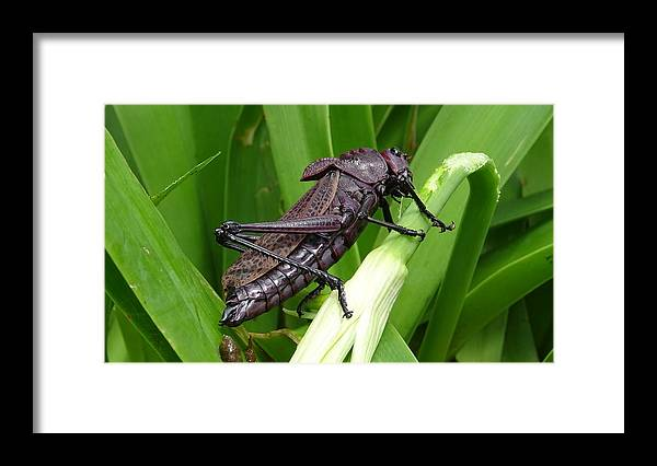 Framed Print featuring the photograph Grasshopper by Stanley Vreedeveld