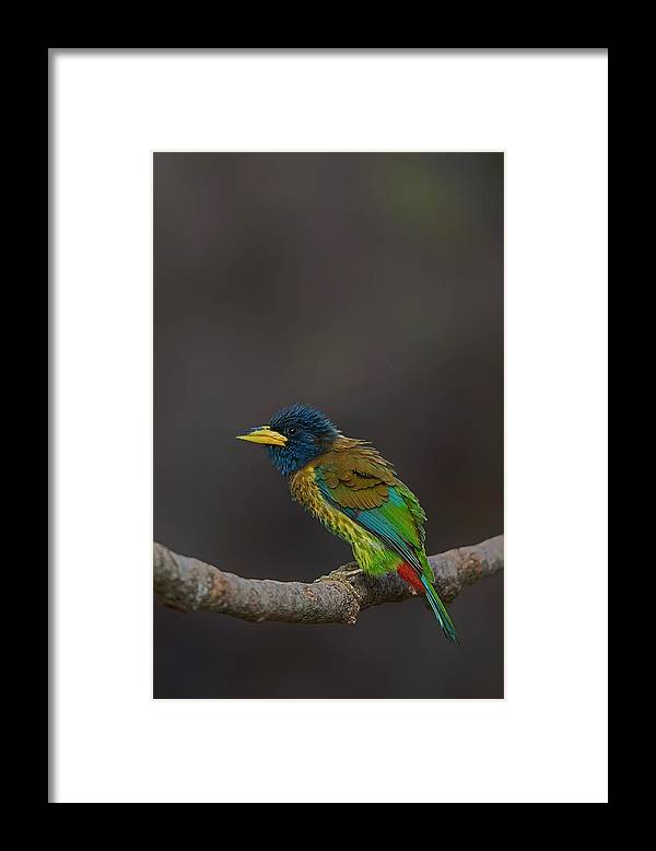 Bird Images For Print Framed Print featuring the photograph Great barbet by Uma Ganesh